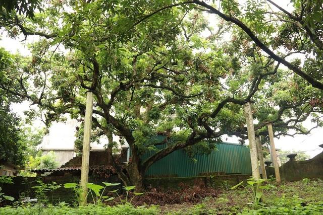 Anh Nguyễn Văn Thành (Đại Thành, Quốc Oại, Hà Nội), hậu duệ đời thứ 3 trong gia đình sở hữu cây nhãn tổ đặc biệt này cho biết, cây có tuổi khoảng gần 130 năm. Cây cao khoảng 20 m, chiều rộng phủ kín cả một khoảng vườn lớn.