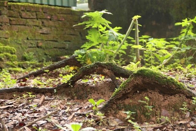 Xung quanh gốc cây có nhiều đoạn rễ nhô lên khỏi mặt đất.