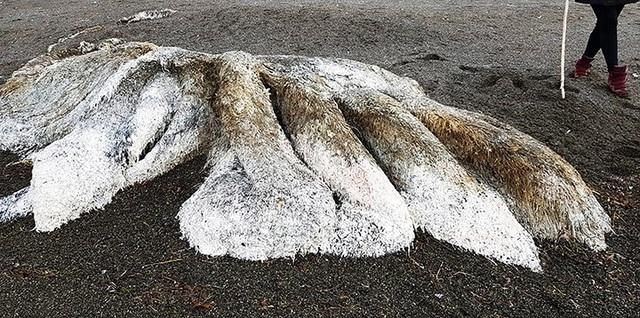 Xác 'quái vật biển không đầu' dạt vào bờ biển Nga  - Ảnh 1.