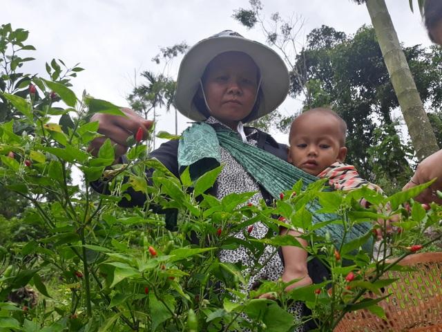 Mỗi tuần chị Hồ Thị Lan thu hoạch ớt xiêm rừng từ 1 - 2 lần thu về khoảng 600 ngàn đồng