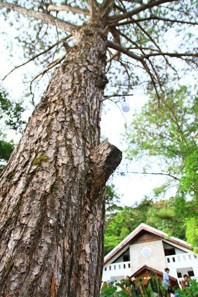 Cây tùng già vươn mình lên tỏa bóng mát, lá cây đung đưa tạo bản tình ca muôn thuở
