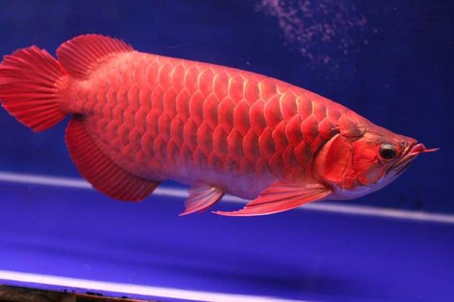 Cá huyết long không chỉ đẹp mà còn là loài cá có giá trị cao.