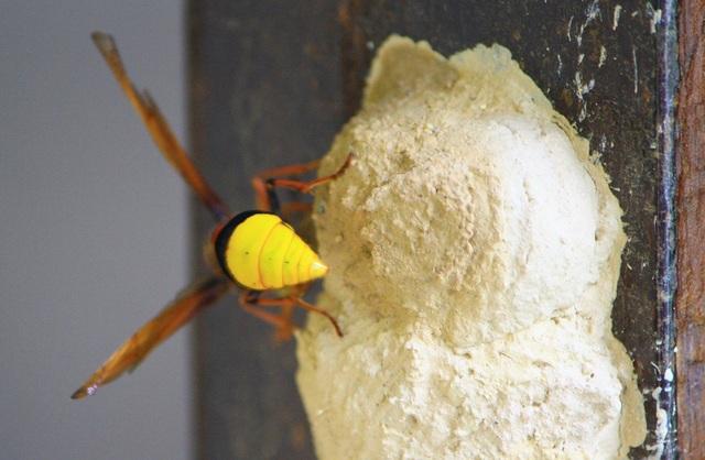 Tò vò tìm cách để đẻ trứng vào tổ đã có sẵn con mồi cho đứa con sắp chào đời