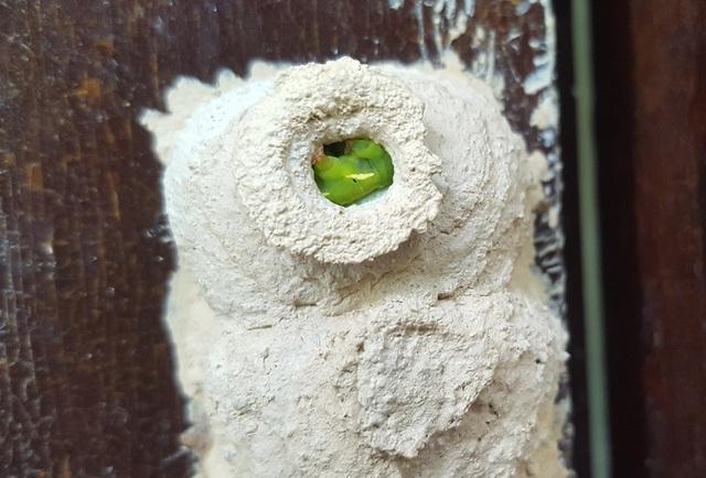 Sâu được tò vò bắt về, tiêm cho tê liệt rồi bỏ vào tổ làm thức ăn cho tò vò con