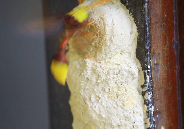Tò vò mẹ bay đi sau hơn 1 phút đắp tổ bởi 1 hòn đất