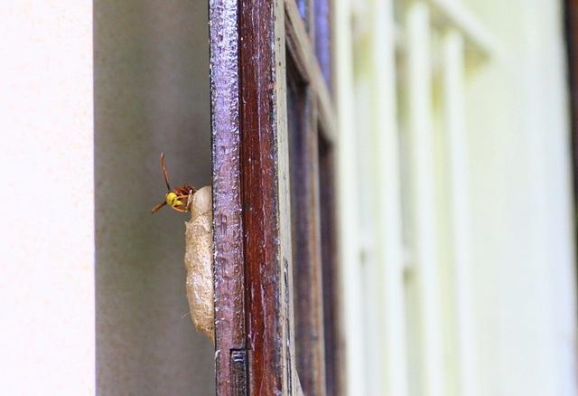 Tổ được tò vò thích làm ở các cửa gỗ