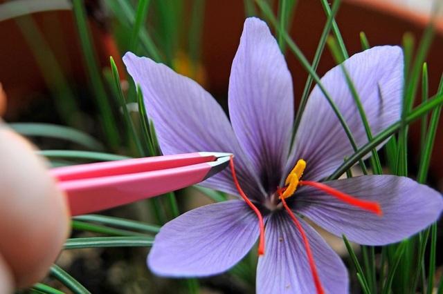 Theo Bs Châu Quyên, chỉ nên coi Saffron là một thực phẩm giàu dinh dưỡng, tránh quan niệm chúng là thần dược có thể trị bách bệnh