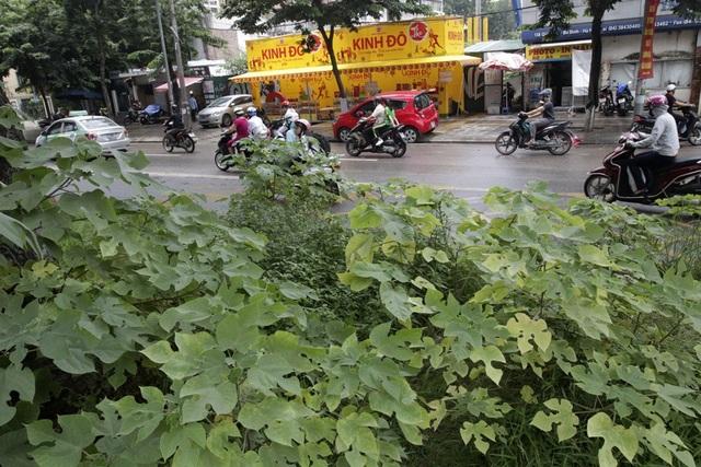 Hà Nội: Cây dại mọc như ở bãi hoang giữa phố Giảng Võ - 13