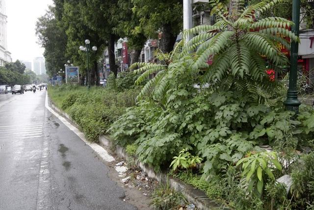 Hà Nội: Cây dại mọc như ở bãi hoang giữa phố Giảng Võ - 15