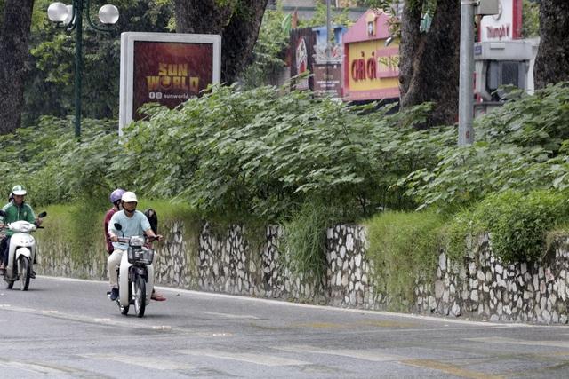 Dải phân cách cùng với cây dại che khuất tầm nhìn trên đường phố.