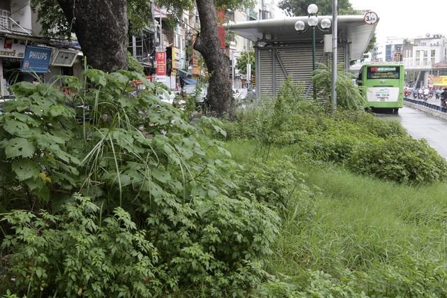 Cây cỏ dại mọc vây kín nhà chờ xe buýt BRT.