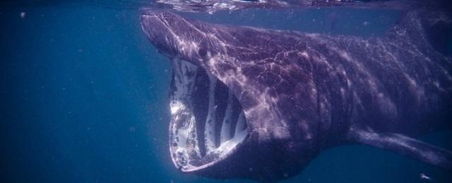 Một loài cá khổng lồ còn nhiều bí ẩn cần được khám phá - 1