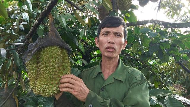 Lão nông thu lợi nhuận cao từ trồng xen canh giữa cà phê và sầu riêng