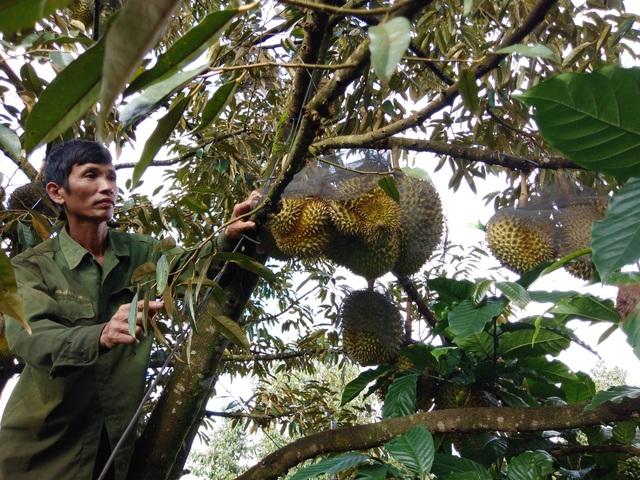 Có cây sầu riêng của ông Thuận đạt đến 20 triệu đồng/cây/mùa