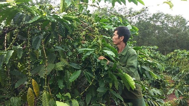 Việc xe canh cà phê và sầu riêng bước đầu đã mang lại hiệu quả cho bà con vùng cao
