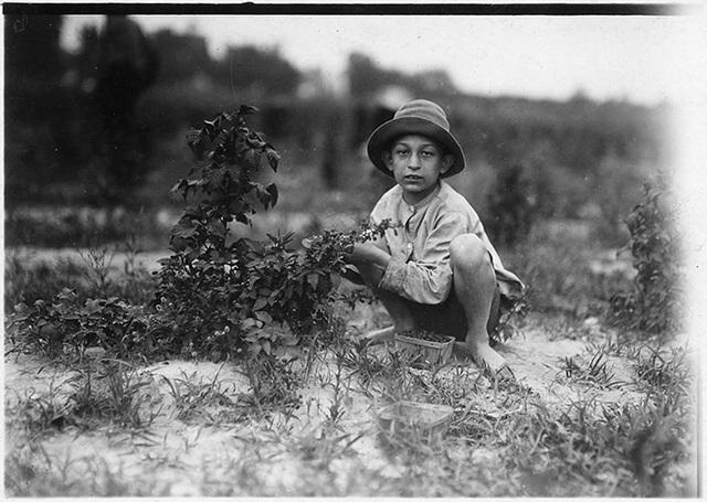 Cậu bé Norris Luvitt thu hoạch những trái dâu trên những cánh đồng gần Baltimore, tiểu bang Maryland vào tháng 6/1909.