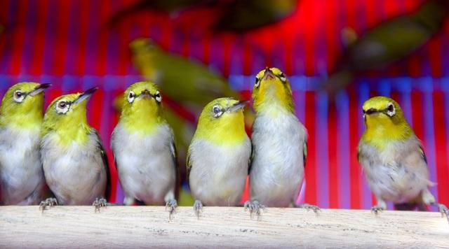 Ngoài chim sẻ ra còn nhiều loại chim khác như chim khuyên, được bán với giá 30.000 - đến 50.000 đồng tùy số lượng.