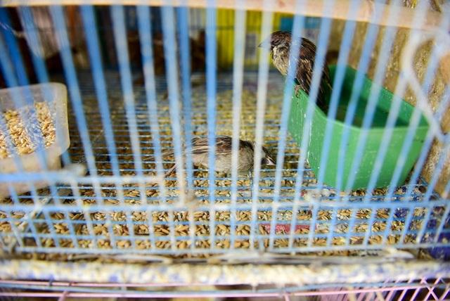 Một số con chim yếu, thậm chí chết do bị nhốt lâu.