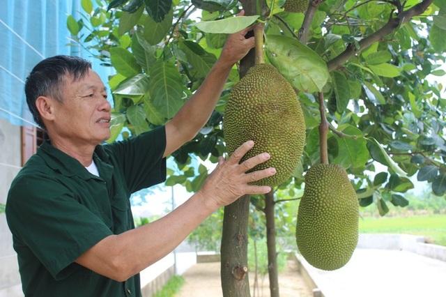 Hàng trăm gốc mít và nhiều loại hoa quả cho ông thu nhập đều đặn theo mùa