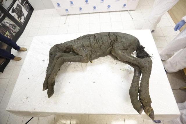 Con ngựa này đã sống ở Yakutia từ 30.000 đến 40.000 năm trước, chuyên gia nói.