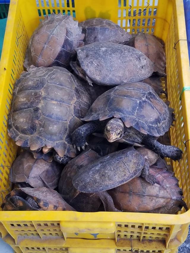 Một số cá thể rùa quý hiếm được phát hiện tại trang trại bà Kim Cương