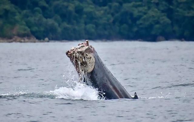 Các chuyên gia cho rằng con cá voi sẽ không sống được lâu trong tìnht rạng này.