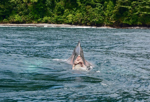 Con cá voi mất đuôi xuất hiện ở ngoài khơi Colombia.