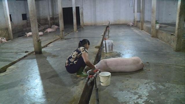 Lò giết mổ Cẩm Bình có công suất thiết kế trên 40 con/ngày, hiện chỉ mổ chưa tới 10 con. Chủ cơ sở này cũng đã tính đến phương án dừng hoạt động vì không kham nổi chi phí duy trì hoạt động.