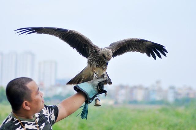 Đối với một tay huấn luyện chim chuyên nghiệp thì chỉ mất khoảng 2 tháng là chim có thể làm quen và nghe theo các hiệu lệnh của chủ nhân.