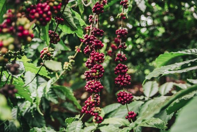 Hạt cà phê nông trường CADA chính là nguyên liệu cho Nuticafé
