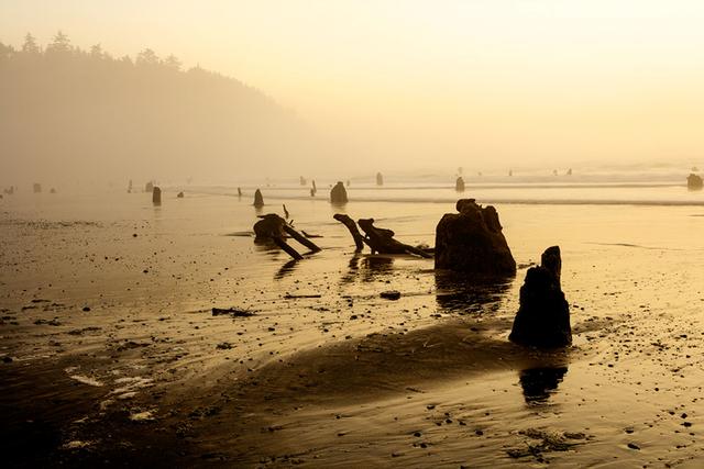 Theo kết luận của các nhà khoa học, dựa vào các vòng trên gốc cây rừng ma sống vào cuối năm 1699, nhưng đến năm 1700, trận động đất kèm sóng thần cường độ lớn ập vào bờ biển Oregon nhấn chìm rừng vân sam trong biển cát. Ảnh Manzanita Vacation Rentals