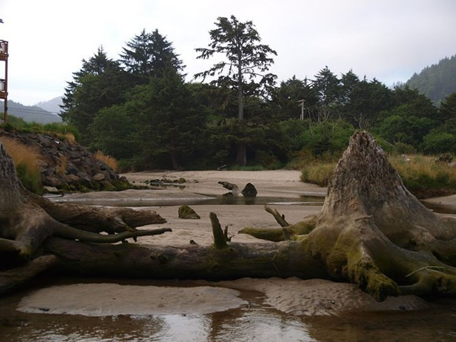 Hơn nữa, nhờ bùn cát đã giữ gốc cây không bị phân hủy. Ảnh Pacific Northwest Photoblog