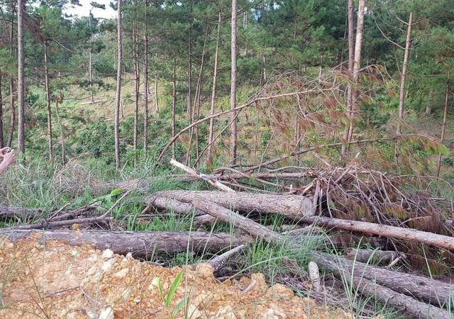 Bắt thủ phạm bơm hóa chất đầu độc gần 4ha rừng thông - 2
