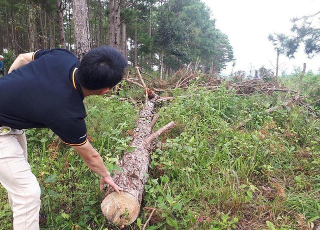 Hàng trăm lóng gỗ thông được gom thành từng đống để ngổn ngang trong rừng