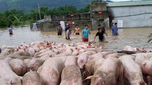 Đến sáng ngày 31/8, người dân vẫn đang tổ chức di chuyển đàn lợn đến nơi khác