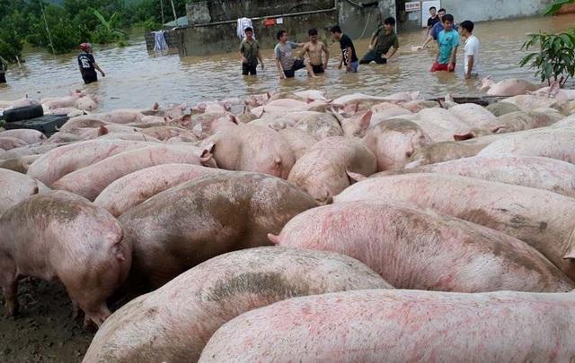 Người dân đã di chuyển lợn đến chỗ cao để tránh nước