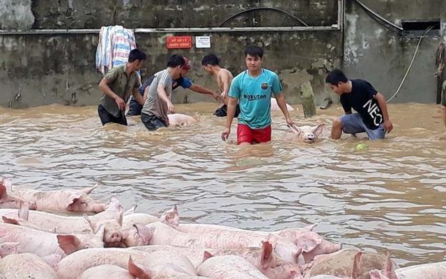 Huy động hơn 100 người giải cứu đàn lợn khỏi nước lũ