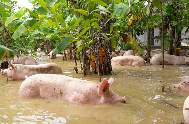 Những con lợn bơi bì bõm trong nước