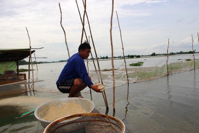 Ông Nguyễn Văn Phú bổ sung thức ăn cho đàn cá linh non bằng cám, ngoài phụ phẩm trên đồng ruộng sau thu hoạch.
