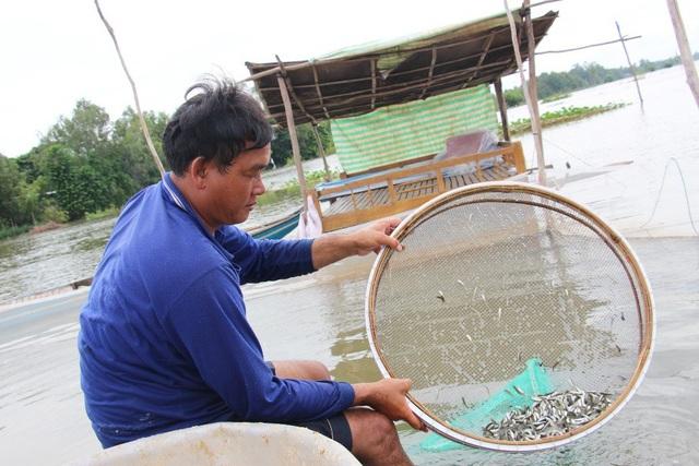 Sau 15 ngày vỗ béo, 01 tấn cá linh non cho ra 2 tấn cá xuất bán và ông Phú thu lãi 150 triệu đồng.