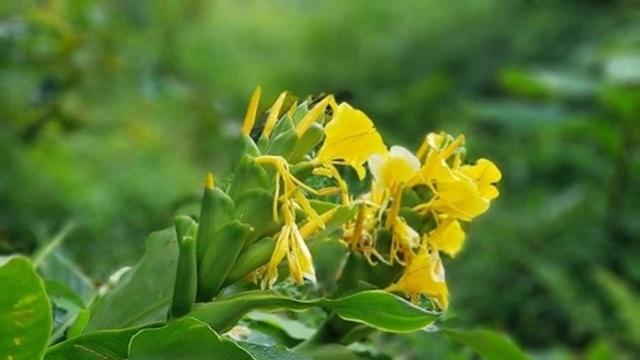 Hình ảnh cây Ngải Tiên