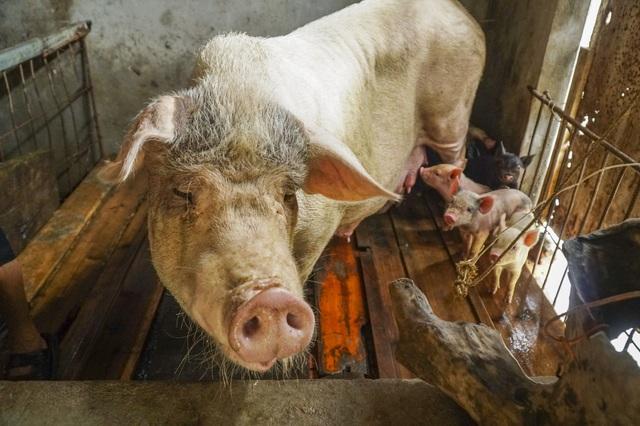 Sau nhiều ngày nuôi nhốt trên nhà, gia súc gia cầm được đưa trở lại chuồng trại.