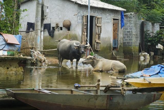 Nhiều trại nuôi nhốt gia súc, gia cầm sau nhiều ngày ngâm trong nước lụt, dễ trở thành ổ phát sinh dịch bệnh...