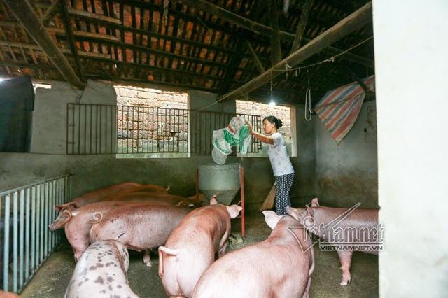 Chị Hoàng Thị Thắm, vợ anh Ba cho lợn ăn ở nhà hàng xóm