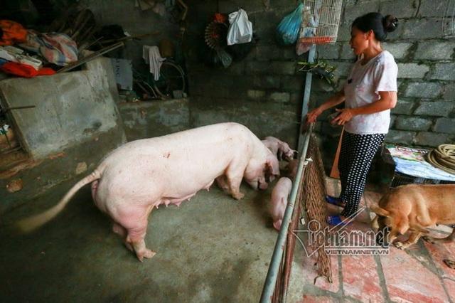 Vợ chồng ông chủ ngày ngày chèo thuyền thăm 100 con lợn đi lánh lũ - 4