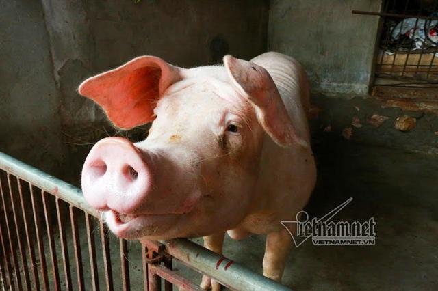 Vợ chồng ông chủ ngày ngày chèo thuyền thăm 100 con lợn đi lánh lũ - 7