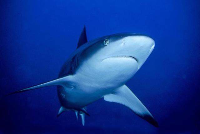 Ai Cập từng ghi nhận không ít các vụ cá mập tấn công con người