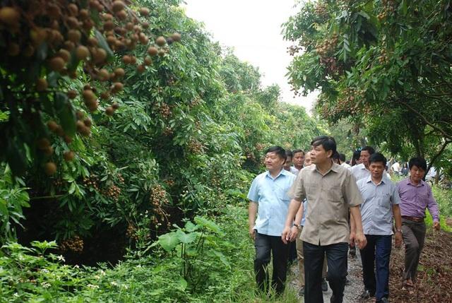 Bộ trưởng Bộ NN&PTNT Nguyễn Xuân Cường (đi đầu) cùng đoàn công tác thăm một số vườn nhãn tại Hưng Yên.