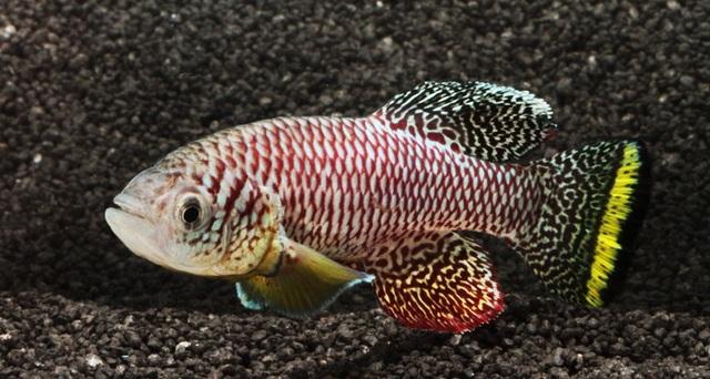 Loài cá trưởng thành đến tuổi sinh sản chỉ trong hai tuần - 1
