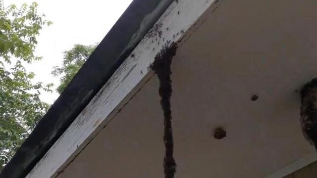Lũ kiến xuất phát từ trên trần nhà...